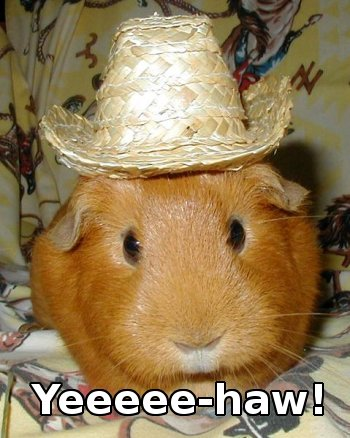 guinea pig wearing cowboy hat, caption YEE-HAW!