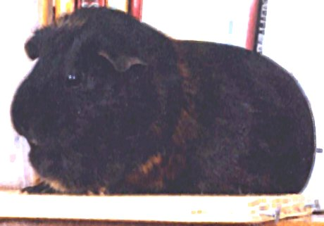 Samantha the guinea pig, sitting on a bookshelf, looking fuzzy