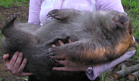 wombat lying in woman's arms and looking very cute