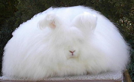 seriously fluffy bunny