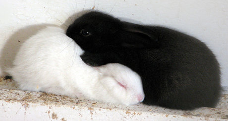 black and white rabbits in yin-yang position