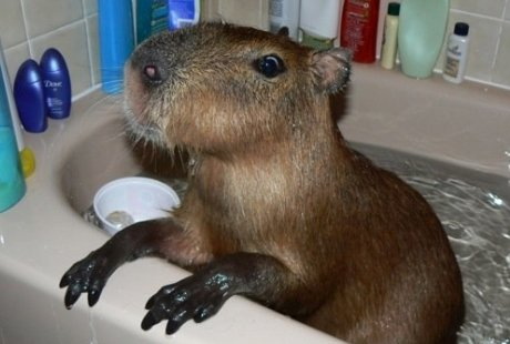 capybara in bathtub