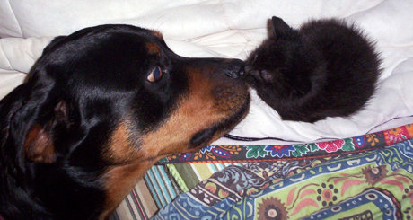 huge dog nose-to-nose with tiny kitten