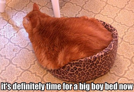 cat sitting in cat bed that's too small for it, caption 'It's definitely time for a big boy bed now'