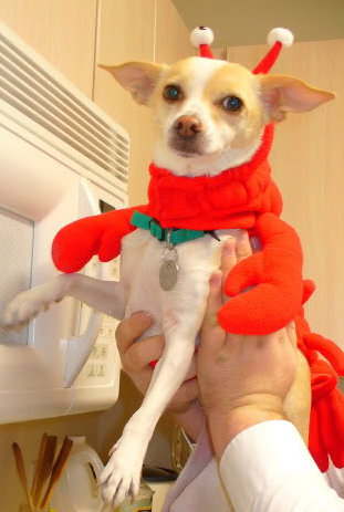 Darlin' dressed as a lobster