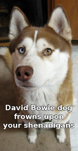 David Bowie dog frowns upon your shenanigans