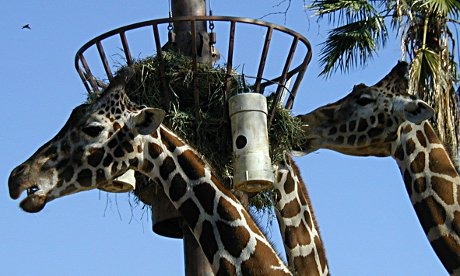 giraffes eating at a feeder at the Phoenix Zoo