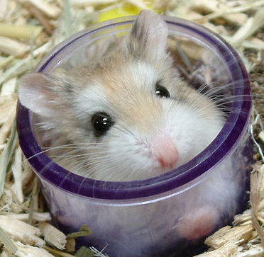 hamster in shot glass