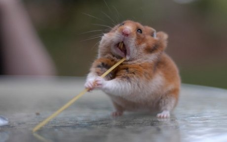 hamster with spaghetti, looking like a ninja