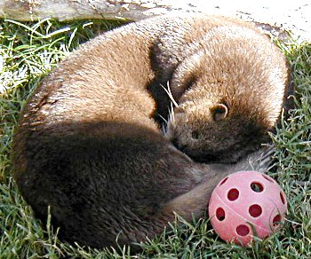 otter sleeping next to plastic ball