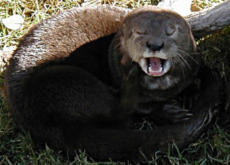 very tired otter yawning