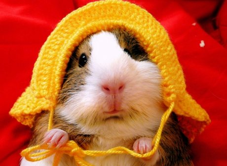 guinea pig wearing a crocheted hat