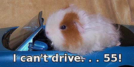guinea pig driving car