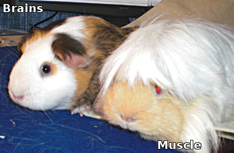 guinea pigs, one brains, one muscle