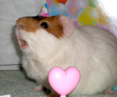 guinea pig wearing a party hat