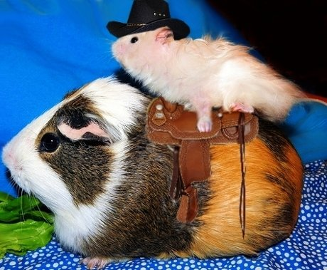 hamster riding on guinea pig like a cowboy riding a horse, saddle and cowboy hat included