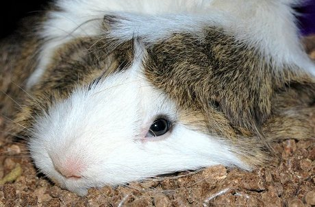 very tired guinea pig