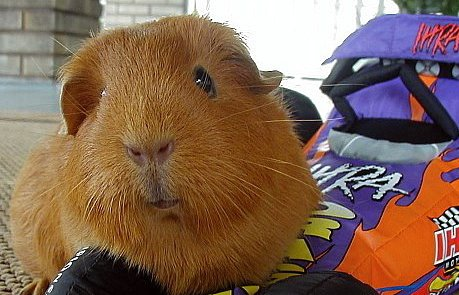 guinea pig with race car