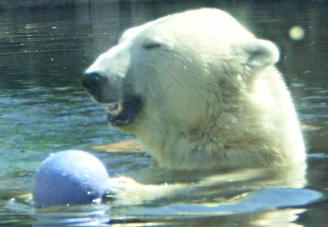 happy polar bear with blue plastic ball