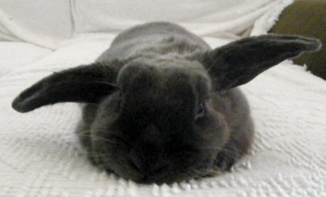 black bunny with ears in 'airplane' pattern