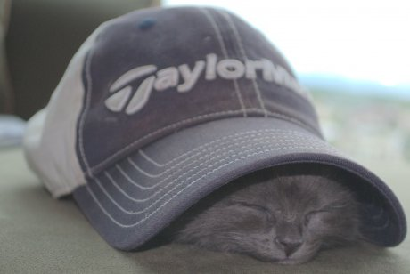 gray kitten sleeping under baseball cap
