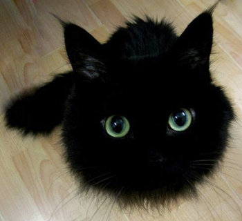 very fluffy black cat