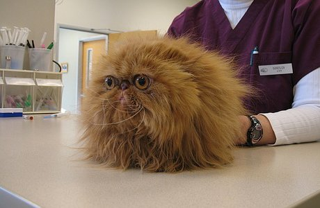 smooshy-faced cat that looks like a version of Fizzgig from 'The Dark Crystal'