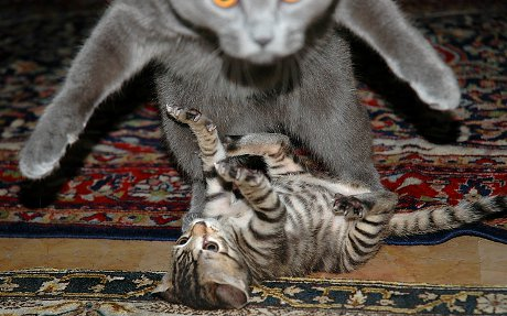 cats wrestling, one jumping right at the camera