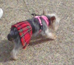 tiny dog in a kilt