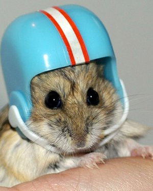 hamster wearing football helmet