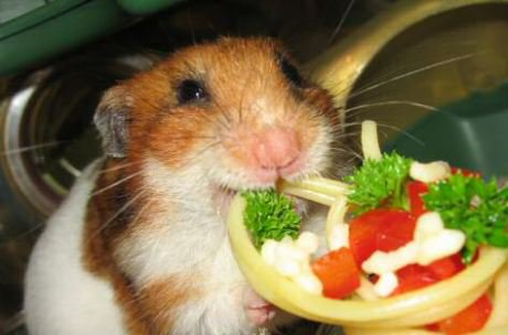 hamster chewing on a vegetable snack that looks like a pizza