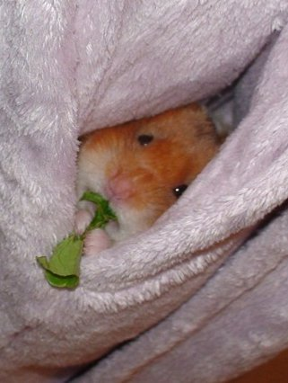hamster in pocket