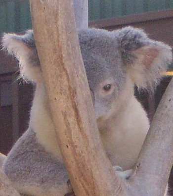 koala in tree with face half-hidden
