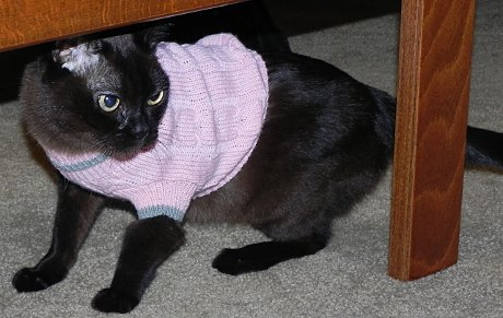 Half-Siamese cat Moira wearing a pink sweater and looking very annoyed