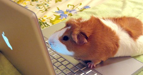 guinea pig typing on computer