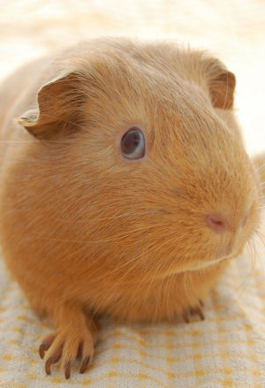 guinea pig giving you the SIDE EYE