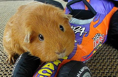 guinea pig sitting on toy car looking plaintive