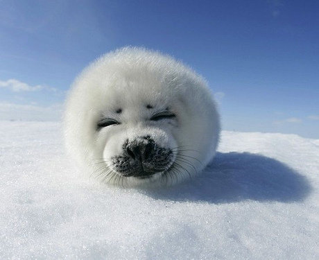 harp seal pup looking cute