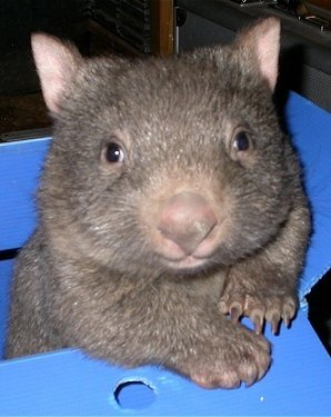 baby wombat in a box