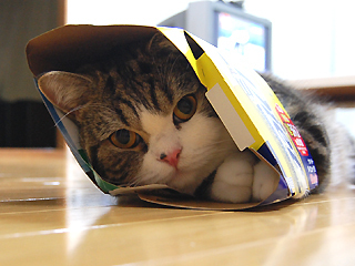 Maru, famous Japanese cat, ensconced in a box that's too small for him
