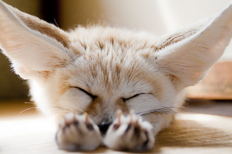 fennec fox being really, really tired
