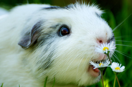 guinea pig eating flowers