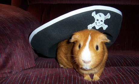 guinea pig wearing pirate hat