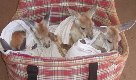several wallabies in a basket
