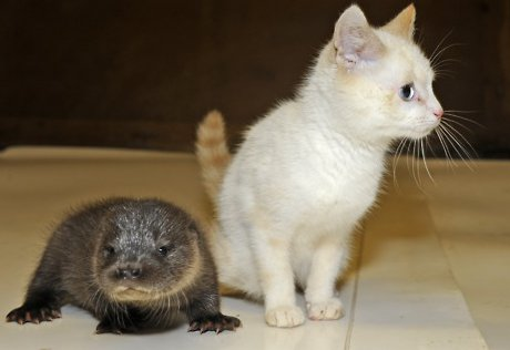 baby otter next to white kitten, both sickeningly cute