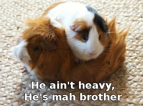 guinea pig sitting on another guinea pig's back, caption 'He ain't heavy, he's mah brother'