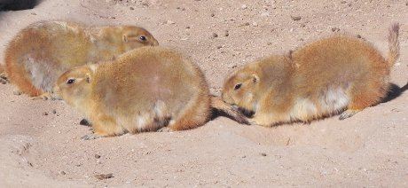 several prairie dogs running around