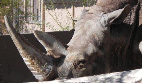 white rhino behind a wall, looking a bit grumpy
