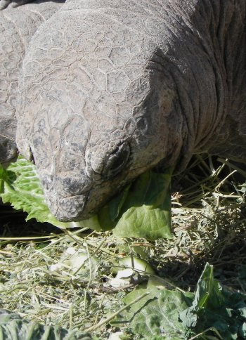large tortoise eating lettuce