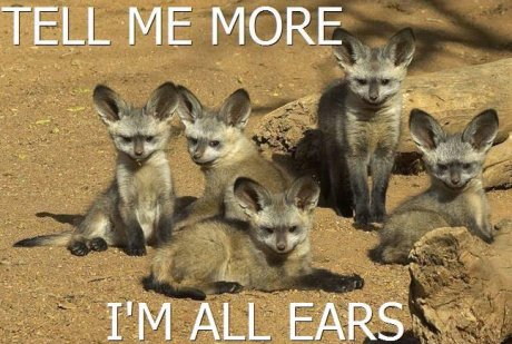 family of fennec foxes, caption 'tell me more, I'm all ears'